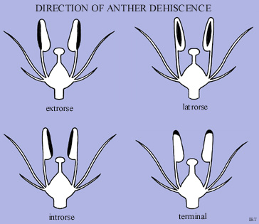 Direction of Anther Dehiscence