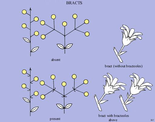 bracts