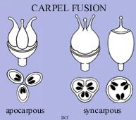 Carpel Fusion