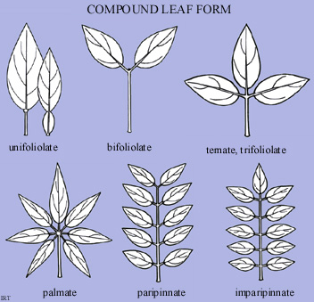 Compound leaf form