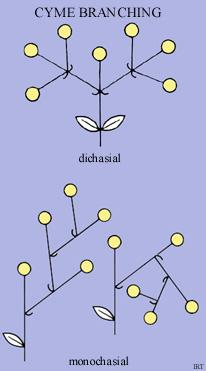 Cyme branching