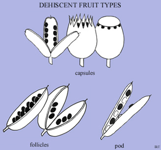 Dehiscent fruit types