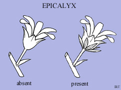 Epicalyx