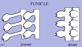 Funicle