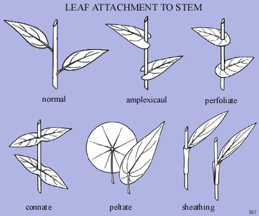 Leaf attachment to stem