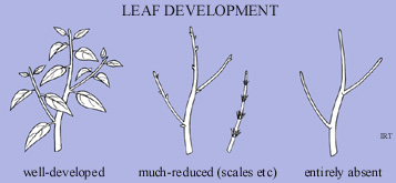 Leaf development