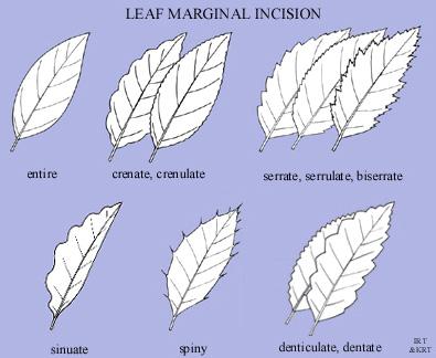 Leaf marginal incision