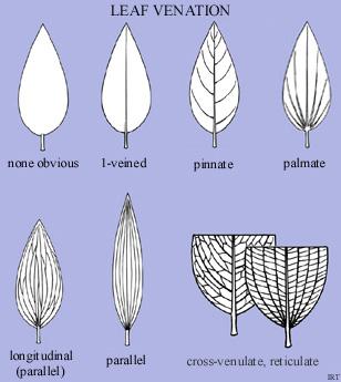 Leaf venation