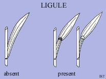 Ligule