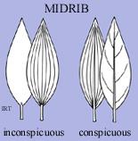 Midrib