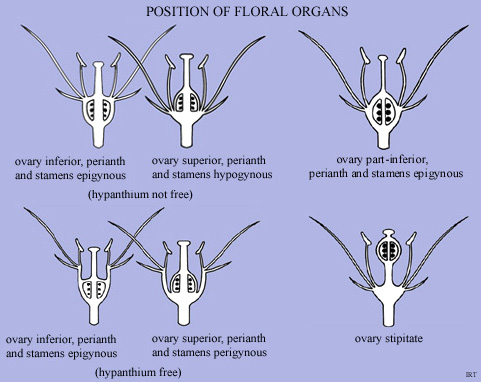 Position of floral organs