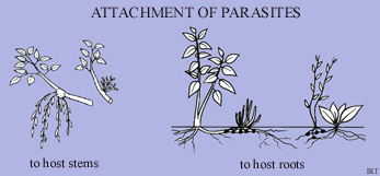 Attachment of parasites