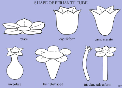 Shape of perianth tube