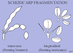 Schizocarp fragmentation