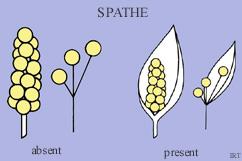 Spathe