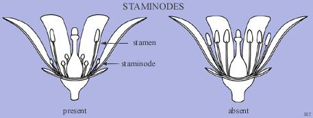 Staminodes