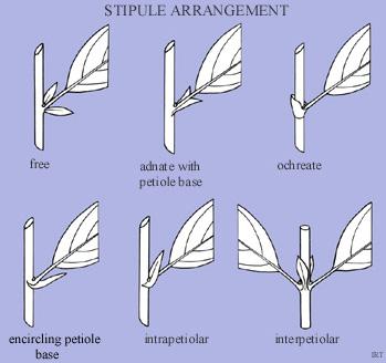 Stipule arrangement
