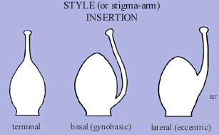 Style (or stigma-arm) insertion